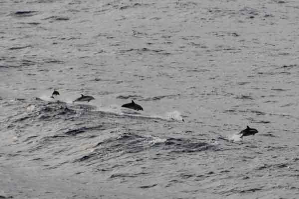 Delfine während Marti Kreuzfahrt