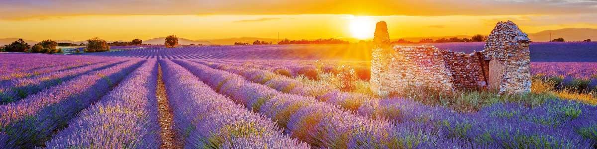 Lavendelfeld in Provence auf Marti Rundreise