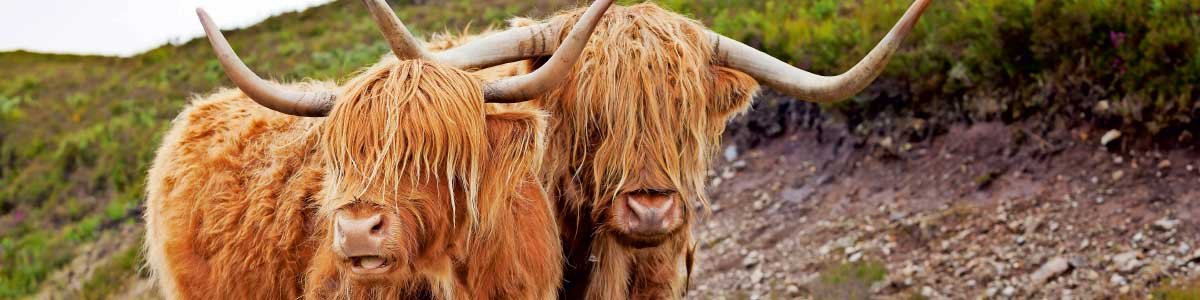 Schottische Highlandrinder